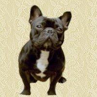 buldogue-frances-imagem-animada-0003