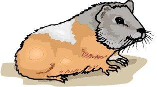 porquinho-da-india-imagem-animada-0005