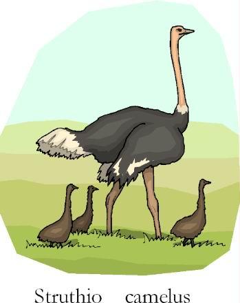 avestruz-imagem-animada-0012