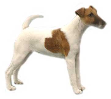jack-russell-terrier-imagem-animada-0007